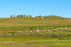 Una multitud de ovejas en el prado extenso Imagen de archivo libre de regalías