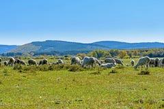 Una multitud de ovejas en el prado y la corriente extensos Fotografía de archivo libre de regalías