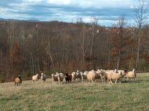 Una multitud de ovejas en la monta?a imágenes de archivo libres de regalías