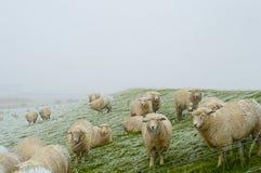 Una multitud de ovejas en un Mar del Norte apuntala en una tormenta de la nieve Husum, Alemania imagenes de archivo