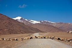Una multitud de ovejas está cruzando más claramente en la carretera de Leh-Manali, Ladakh, Jammu y Cachemira, la India foto de archivo libre de regalías