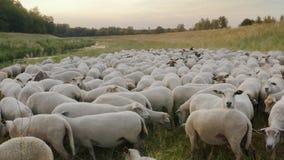 Una multitud de ovejas pasta libremente en un prado verde por el río en un pasto orgánico en Europa Central almacen de metraje de vídeo