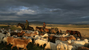 Una multitud de ovejas y del sheepherder Imagen de archivo libre de regalías