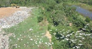 Una multitud de pájaros en la montaña de la basura del abejón metrajes