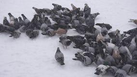 Una multitud de pájaros de palomas en el invierno en un día escarchado en busca de la comida, nieve, MES lento, al aire libre, ur metrajes