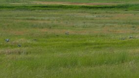 Una multitud de pájaros se hunde en alta hierba metrajes