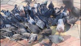 Una multitud de palomas metrajes