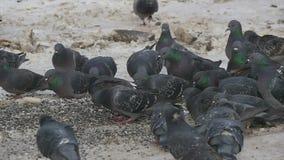 Una multitud de palomas come las semillas de girasol en la tierra metrajes