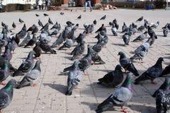 Una multitud de palomas en el cuadrado de ciudad en la ciudad de Mozhaisk Fotos de archivo