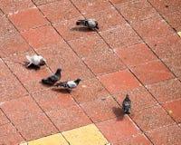 Una multitud de palomas en la acera en la ciudad Fotos de archivo libres de regalías