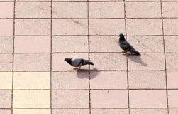 Una multitud de palomas en la acera en la ciudad Imágenes de archivo libres de regalías