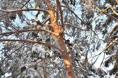 Una multitud de palomas en las ramas de un pino Imágenes de archivo libres de regalías