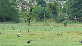 Una multitud de palomas ocupa un césped verde grande en verano en el slo-MES almacen de metraje de vídeo