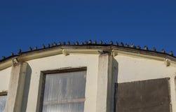Una multitud de palomas salvajes se sienta en fila en el tejado semicircular Imágenes de archivo libres de regalías