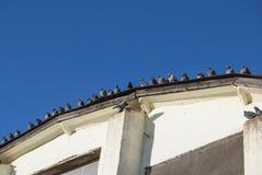 Una multitud de palomas salvajes se sienta en fila en el tejado semicircular Imagenes de archivo