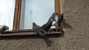Una multitud de palomas se sienta y juega en un travesaño de madera viejo de la ventana en un día soleado metrajes