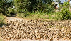 Una multitud de patos en un camino rural imagen de archivo