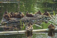 Una multitud de patos jovenes se basa sobre el lago Naturaleza viva salvaje de Rusia Imagen de archivo libre de regalías