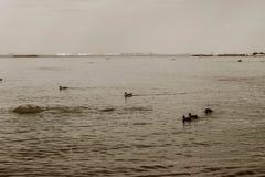 Una multitud de patos nada en una charca en el verano Fotografía de archivo