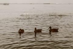 Una multitud de patos nada en una charca en el verano Imagen de archivo libre de regalías