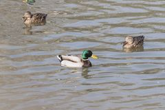 Una multitud de patos salvajes nada en el r?o foto de archivo libre de regalías