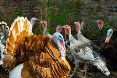 Una multitud de pavos poultry Agricultura Una multitud de las aves de corral fotos de archivo libres de regalías