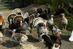 Una multitud de pavos poultry Agricultura Una multitud de las aves de corral fotos de archivo
