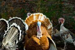 Una multitud de pavos poultry Agricultura Una multitud de las aves de corral imágenes de archivo libres de regalías