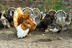 Una multitud de pavos poultry Agricultura Una multitud de las aves de corral fotografía de archivo