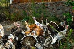 Una multitud de pavos poultry Agricultura Una multitud de las aves de corral foto de archivo libre de regalías