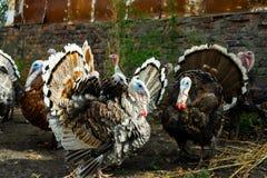 Una multitud de pavos poultry Agricultura Una multitud de las aves de corral imagenes de archivo