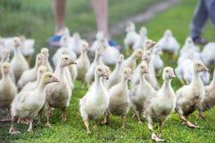 Una multitud de pequeños gansos está en el rastro Foto de archivo libre de regalías