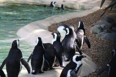 Una multitud de pingüinos en el parque zoológico Imagenes de archivo