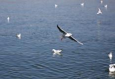 Una multitud del ¼ ŒSea del gullï del mar maúlla, con el ¼ gris Œflying del featherï en el lago imágenes de archivo libres de regalías