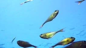 Una multitud del barrendero de rabo amarillo pesca el schenckii de Pempheris en el agua azul Mar Rojo almacen de video