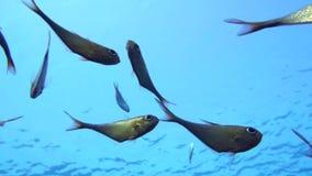 Una multitud del barrendero de rabo amarillo pesca el schenckii de Pempheris en el agua azul Mar Rojo metrajes