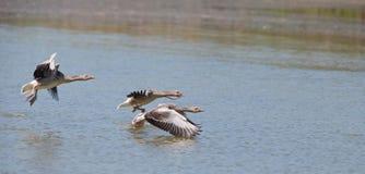 Una multitud del lanzamiento de los gansos de ganso silvestre Foto de archivo libre de regalías