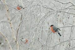 Una multitud del pyrrhula del Pyrrhula de los piñoneros se sienta en las ramas congeladas de un abedul, en un día de invierno frí Fotografía de archivo libre de regalías