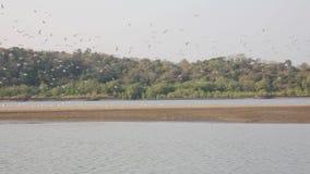 Una multitud grande de gaviotas se sienta en una isla arenosa en el medio del río contra el contexto de un bosque verde, saca, vu almacen de video