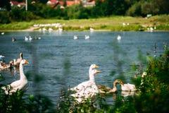 Una multitud hermosa de gansos es que nada y de pasto en el río Observación de pájaros de la orilla Fotografía de archivo libre de regalías