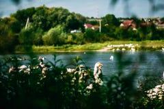 Una multitud hermosa de gansos es que nada y de pasto en el río Observación de pájaros de la orilla Fotos de archivo libres de regalías