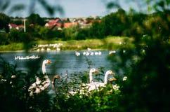 Una multitud hermosa de gansos es que nada y de pasto en el río Observación de pájaros de la orilla Foto de archivo
