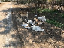 Una muta di cani in un'azienda agricola a Pechino Cina Fotografia Stock Libera da Diritti