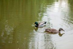 Una nadada de la gallina y de Drake Mallard Duck junto fotos de archivo