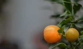 Una naranja fresca lista para madurar foto de archivo