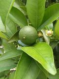 Una naranja verde en una rama foto de archivo libre de regalías