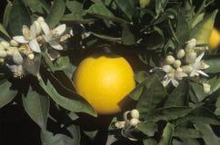 Una naranja y las flores cuelgan en un árbol anaranjado en CA, los E.E.U.U. Imagen de archivo libre de regalías
