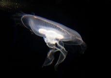 Una natación blanca clara de los pescados de jalea Fotos de archivo libres de regalías
