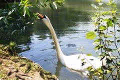 Una natación blanca del cisne en una charca fotografía de archivo