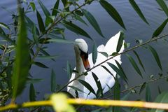 Una natación blanca del cisne en una charca imagen de archivo libre de regalías